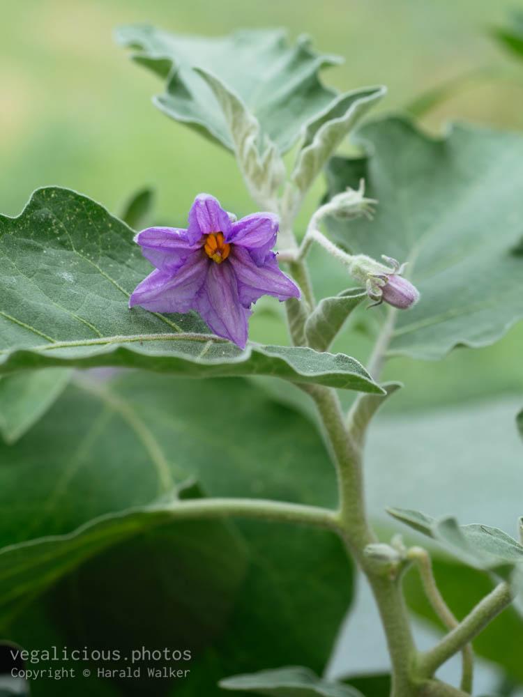 Stock photo of Flowering eggplant