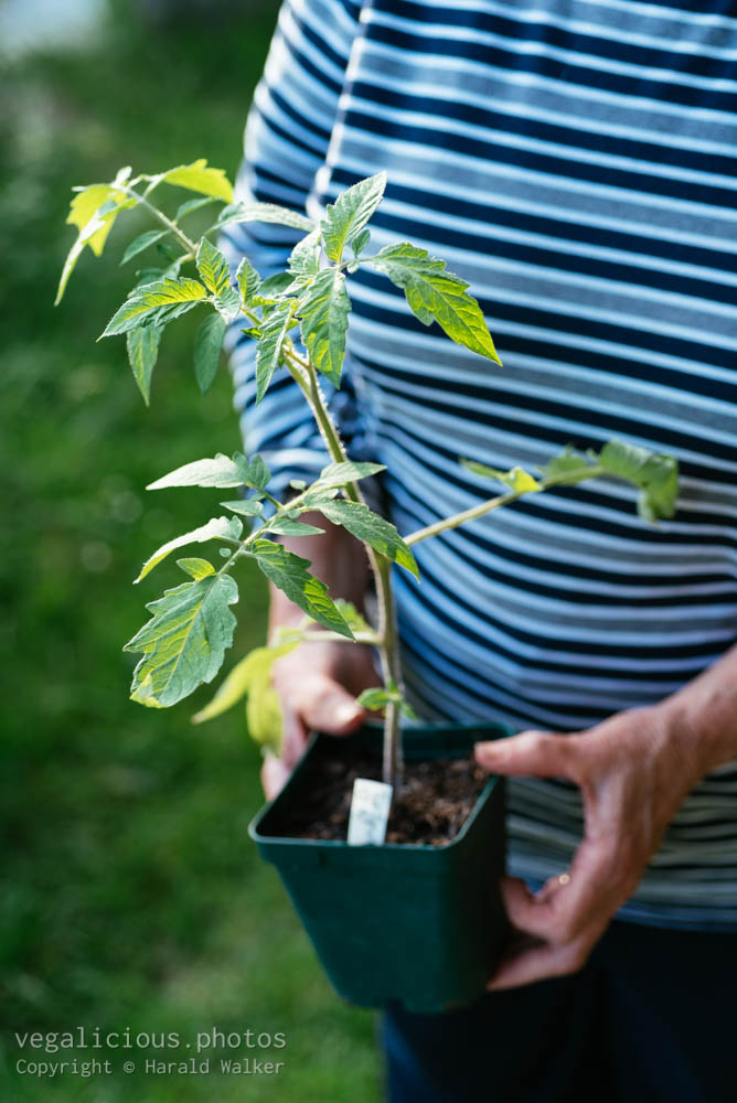 Stock photo of Gardener with tomato plant