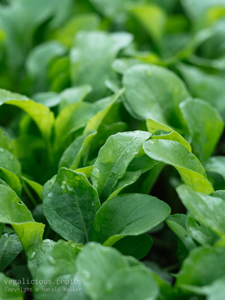 Stock photo of Arugula plants
