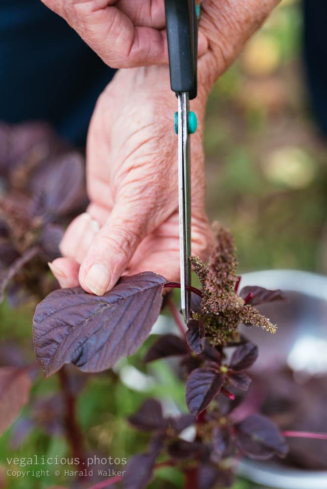 Stock photo of Harvesting purple leaf vegetable amaranth