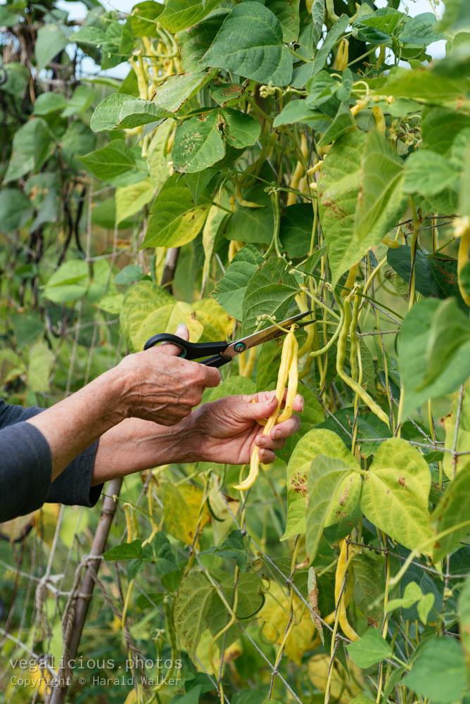 Stock photo of Harvesting yellow runner bean
