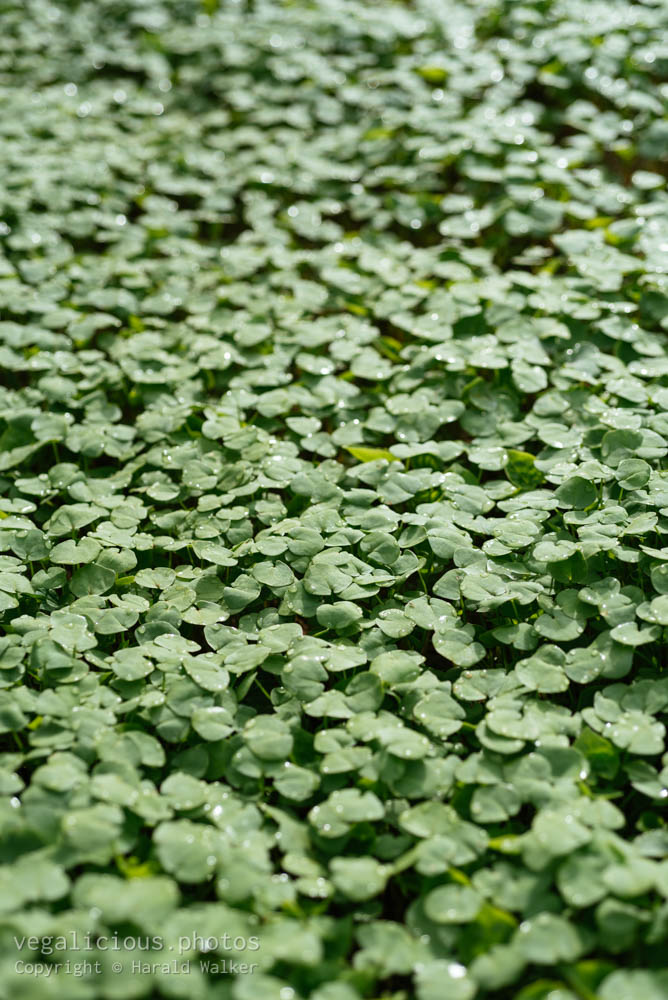 Stock photo of Buckwheat