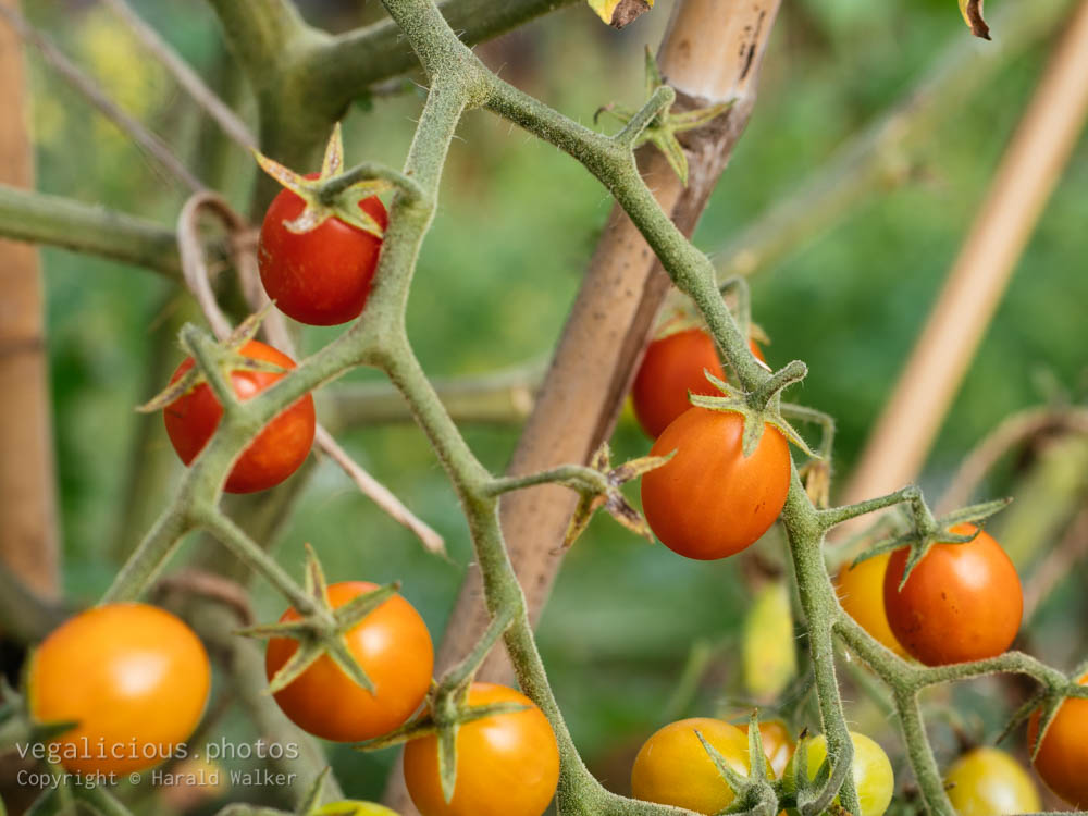 Stock photo of Currant tomato