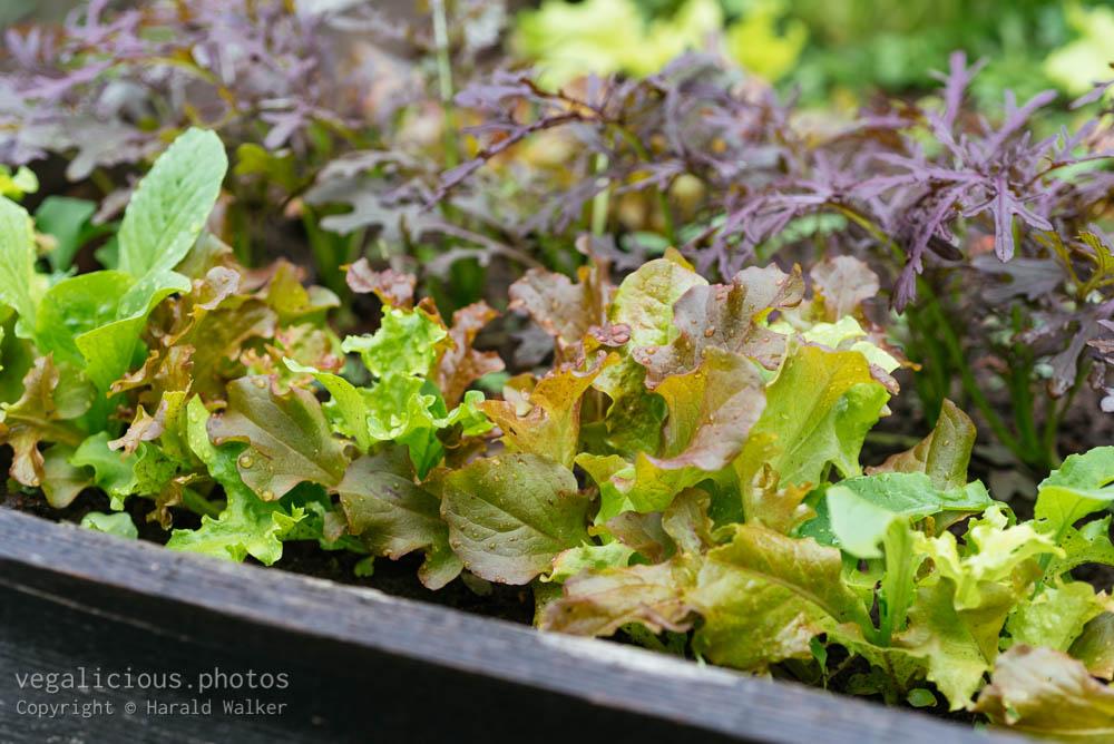 Stock photo of Baby salad greens