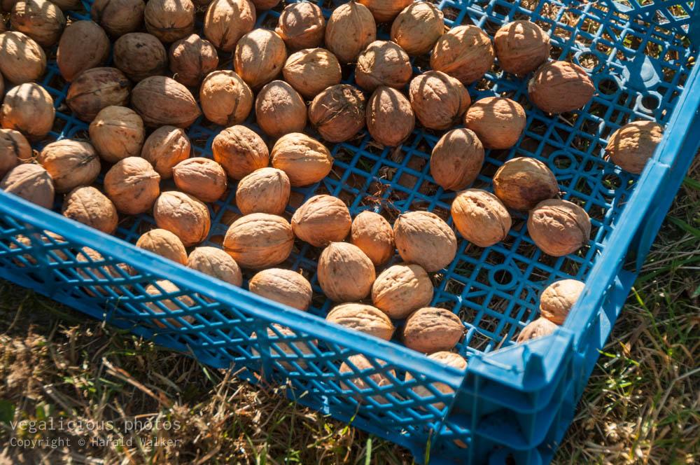 Stock photo of Walnut harvest