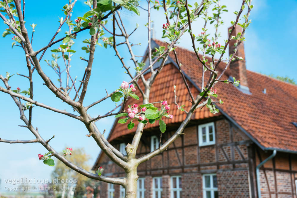Stock photo of Young apple tree with buds in April
