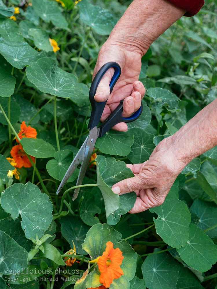 Stock photo of Harvesting Nasturtium Leaves and flowers