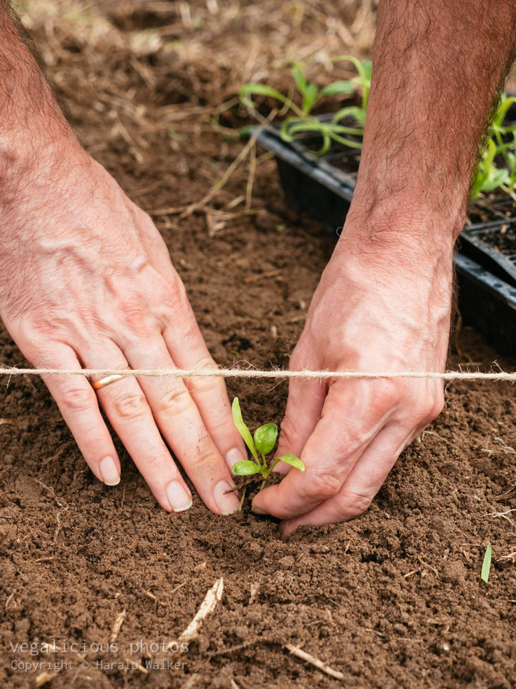 Stock photo of Planting spinach