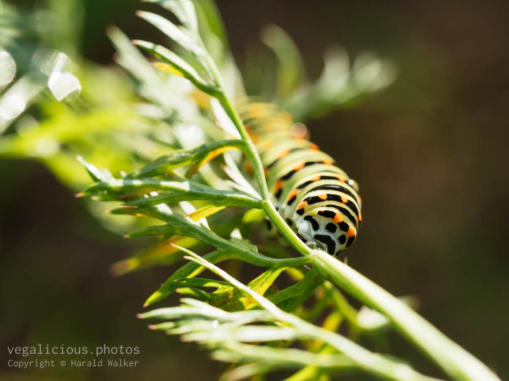 Stock photo of Swallowtail caterpillar