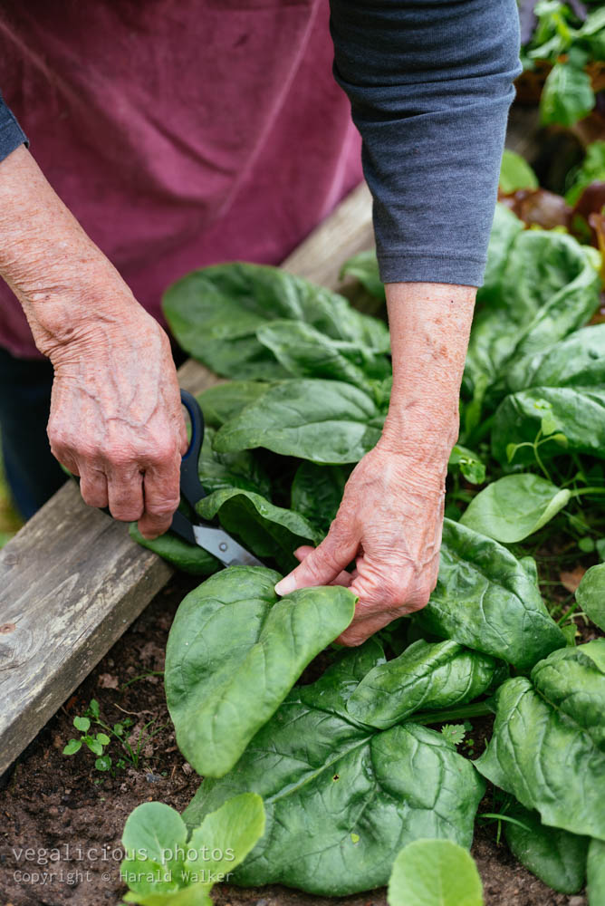 Stock photo of Harvesting fresh spinach