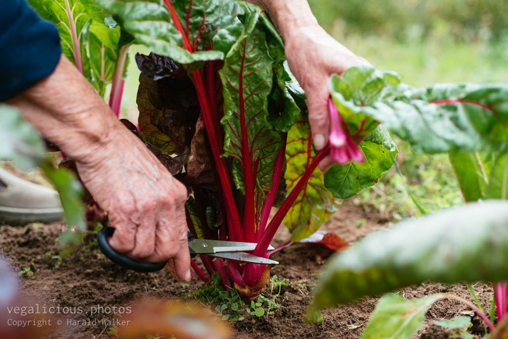 Stock photo of Red stemmed chard
