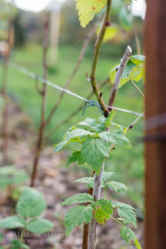 Stock photo of Raspberry canes