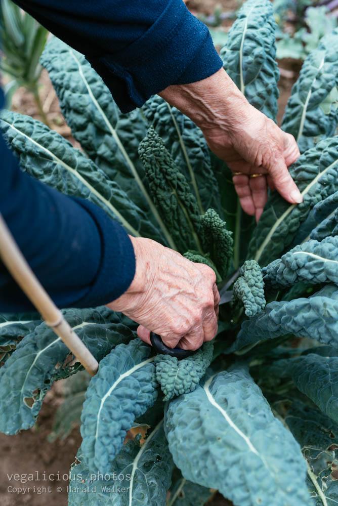 Stock photo of Harvesting Nero di Toscana