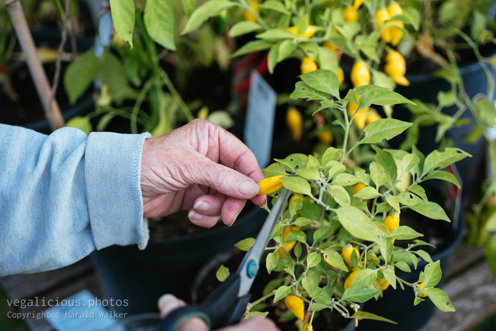 Stock photo of Harvesting Scotch Bonnet Chili Peppers