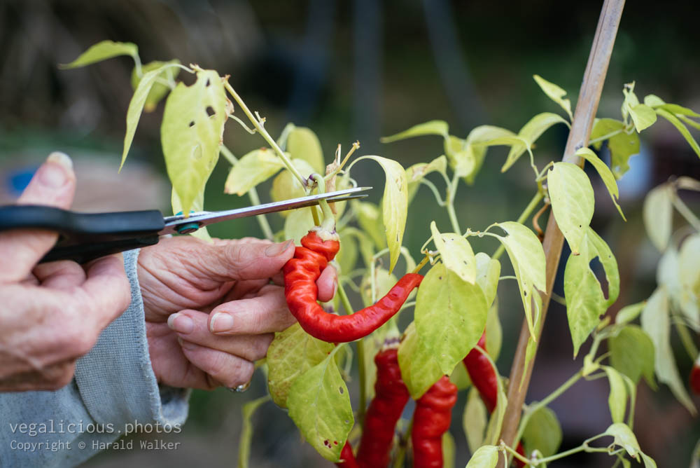 Stock photo of Harvesting cayenne pepper